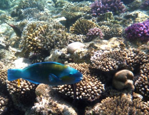 A blue parrot fish